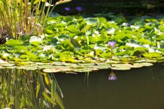 Teich mit Seerosen © P. Mesenholl 2009